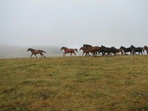 20080324_Horses at belltrees_1310